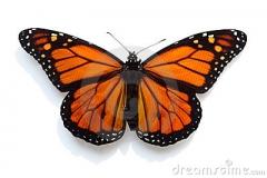 farfalla-di-monarca-20556983
