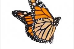 monarch_butterfly_design_3_vinyl_decal_23a37957